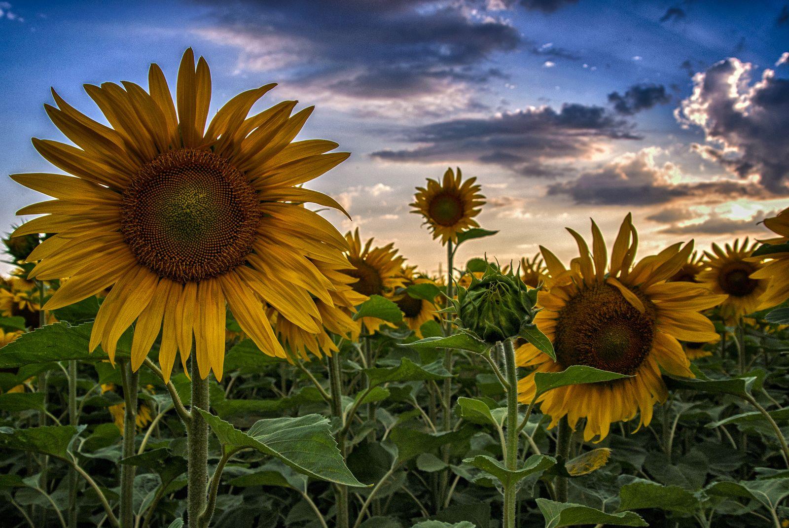 Sonnenblumen rund um Ebersheim